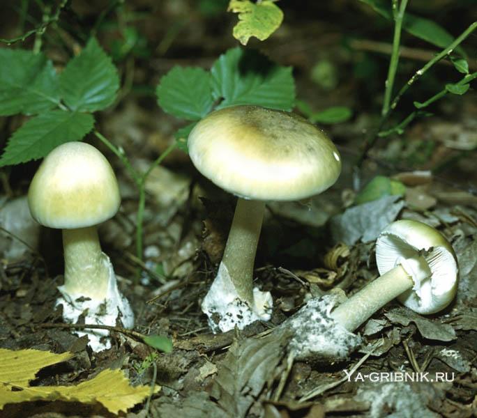 фото поганок грибов