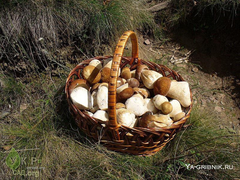 грибы боровики фото и описание