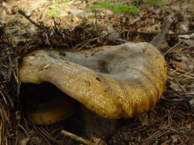 черный грибы груздь фото и описание