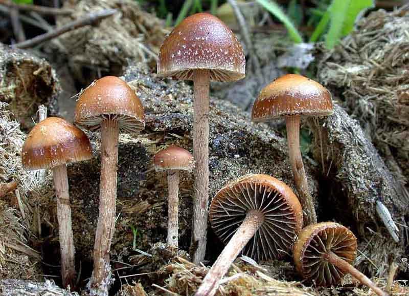 фото глюкогенные грибы