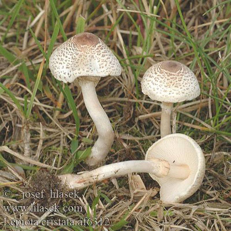 грибы волнушки фото и описание как готовить