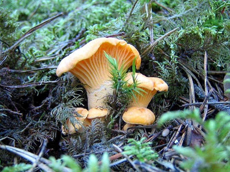 грибы лисички фото съедобные