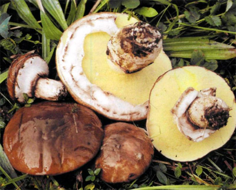 как выглядит гриб маслята фото