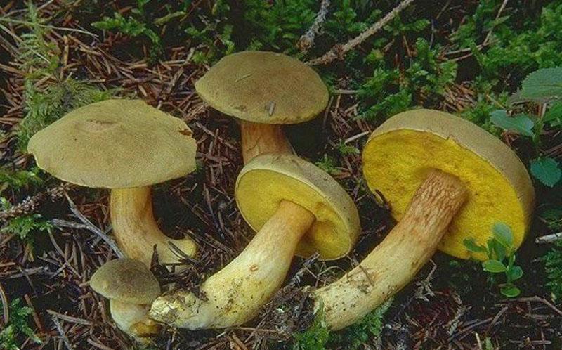гриб моховик зеленый фото и описание