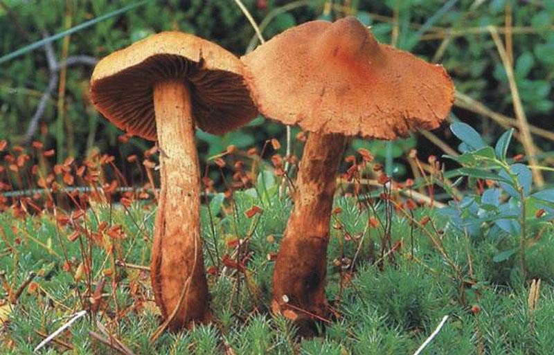 паутинник гриб фото и описание