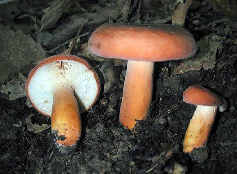 гриб подмолочник фото и описание