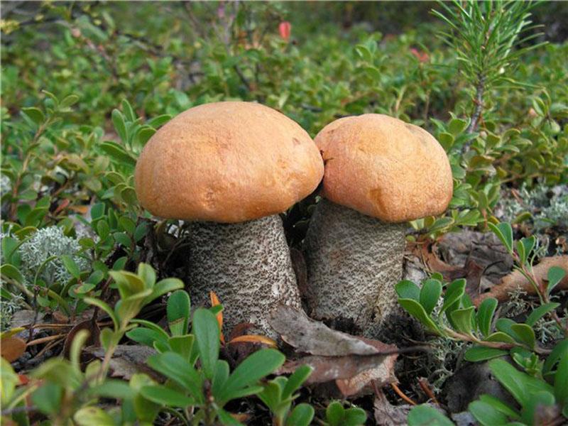 фото гриба подберезовика