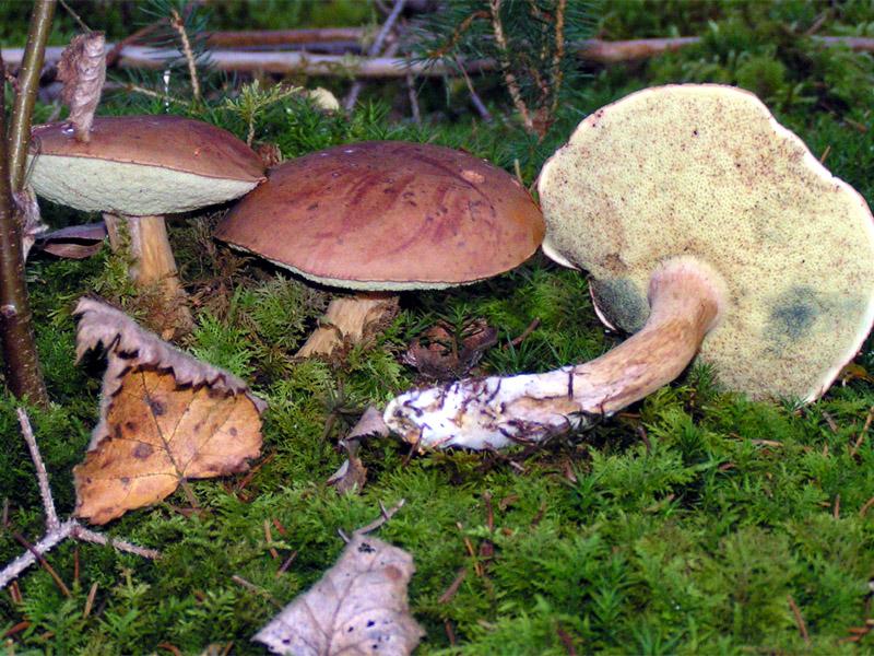 польский белый гриб фото
