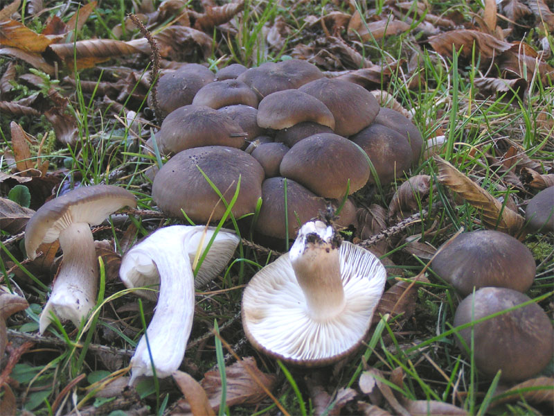 гриб тополек фото и описание
