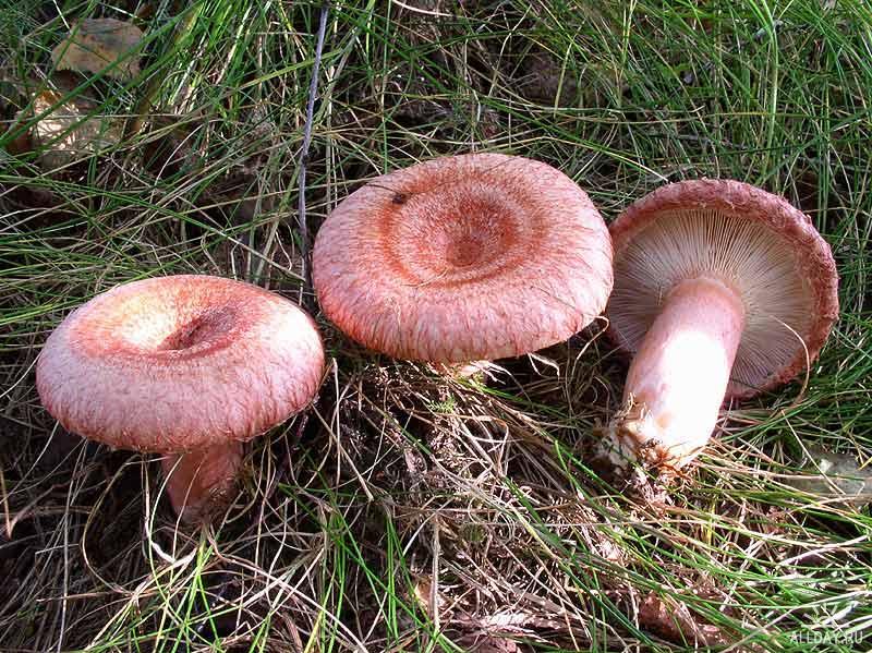 волнушки картинки грибы