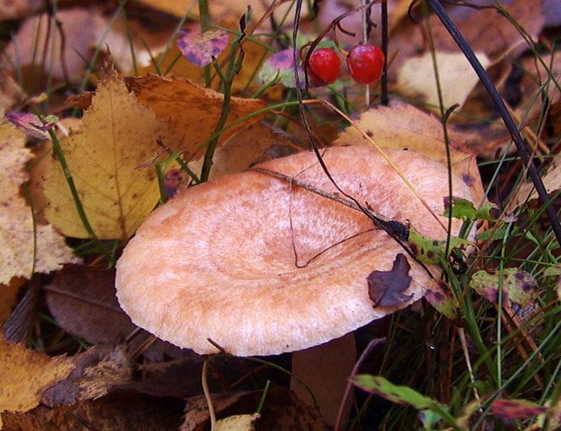 волнушки розовые грибы фото